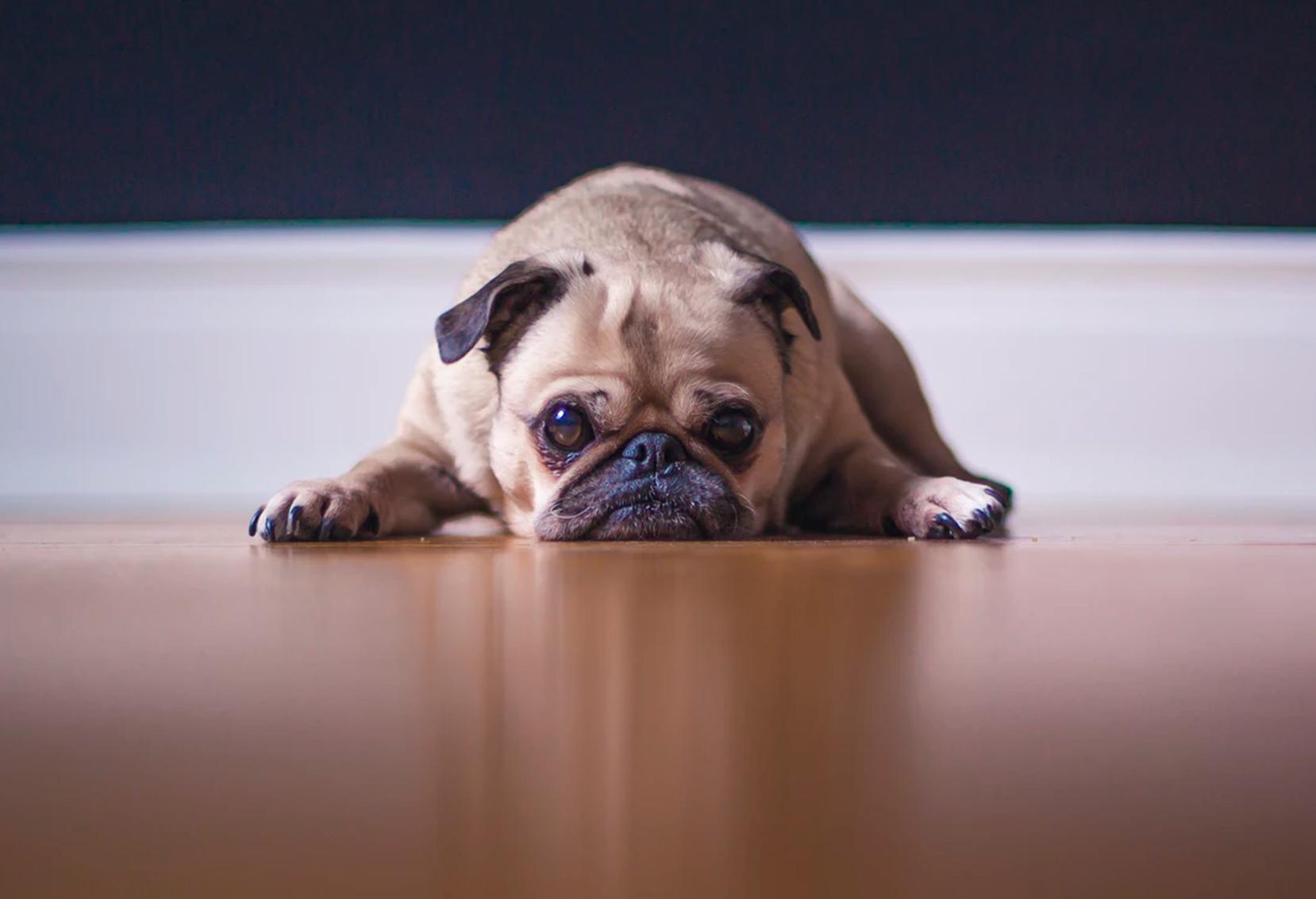 Cachorros Medo De Fogos